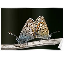 Mating Silver Studded Blues Poster