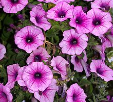 """music glamour"" petunias by dedmanshootn"
