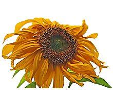 sunflower bad hair day Photographic Print
