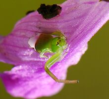 the tiny disabled crab spider by davvi