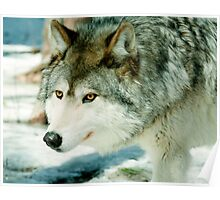 wolf in the snow Poster