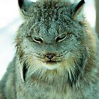 Canadian Lynx in winter by Junec