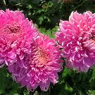 Three pink chrysanthemums by kindangel