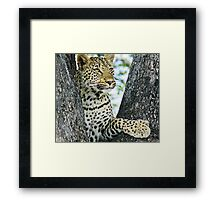 Young leopard in classic position in tree(This my tree!) Framed Print