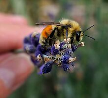 ONE OF MY BUMBLE BEE BUDDIES by Betsy  Seeton
