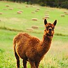 Little Alpaca by BPhotographer