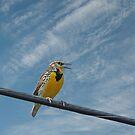 Western Meadowlark by BCkat