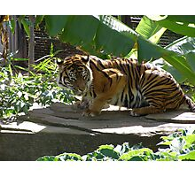 'Assiqua' female Sumatran Tiger at Adelaide Zoo. p.s. Photographic Print
