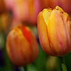 Spring Tulip by Adam Spence