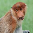 Male Proboscis Monkey by Allan Saben