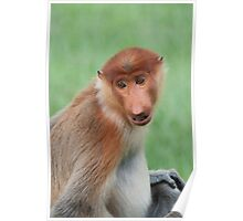 Male Proboscis Monkey Poster