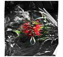 hangin bottlebrush Poster