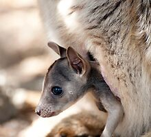 Checking it out - joey in the pouch  by Jenny Dean