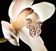 White Orchid by GrahamT
