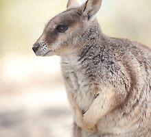 Mareeba rock wallaby by Jenny Dean