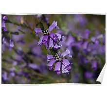 Sturt's Desert Fuchsia Poster