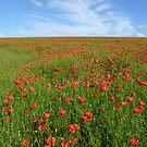 Wild poppies on mid-Hampshire downs for iPhone by Philip Mitchell