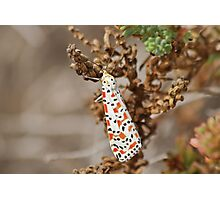 Crimson Speckled Footman Photographic Print