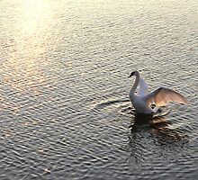 Sunrise Beauty    Mute Swan by NewfieKeith