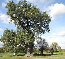 Historical Oak by orko
