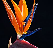 Bird of Paradise by GrahamT
