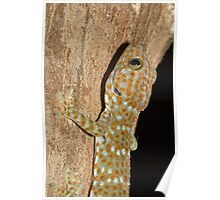 Tokay Gecko (Gekko gecko), Thailand Poster