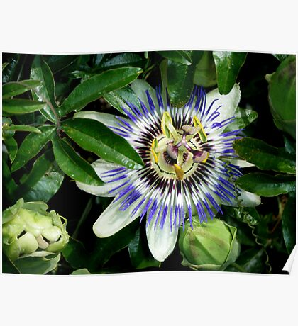 Passion Flower (sweet calabash) Poster