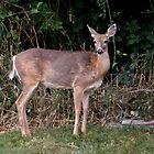 Whitetail Deer (Odocoileus Virginianus) by TeaAira