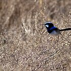 Superd Fairy Wren by Bill  Robinson