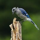Blue Jay Buzz Cut by Bill McMullen