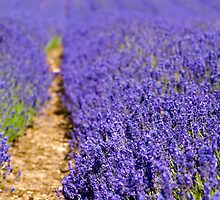 Lavender's Blue by Anne Gilbert