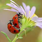 ladybugs by davvi