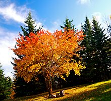 Maple tree in Fall, Alberta Canada by Jessica Karran