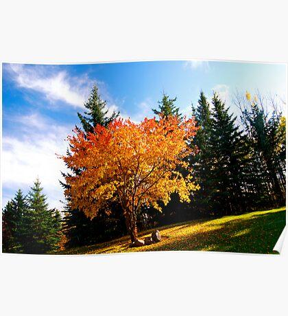 Maple tree in Fall, Alberta Canada Poster