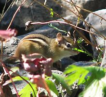 Chipmunk in the fall by hummingbirds