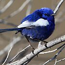 White-winged Fairy Wren by bowenite