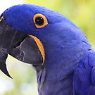 Hyacinth Macaw by amyhoover