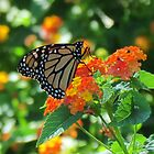 Butterfly Sitting On A Orange Lantana by Cynthia48