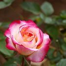 A rose by any other colour by Michael Humphrys