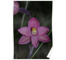 Thelymitra rubra (Salmon Sun-orchid) Poster