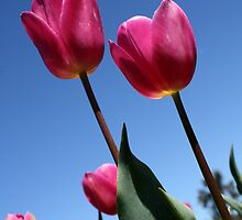 Pink Tulips by Leigh Penfold