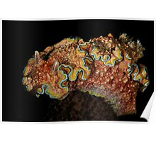 Girdled Chromodoris Poster