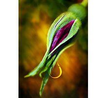 Rose Bud Tear Photographic Print
