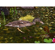 Bathing Duckling  Photographic Print