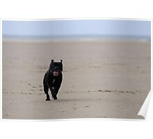 Staffordshire Bull Terrier running on beach Poster