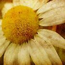 A Daisy Day by vigor