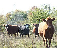 Paint-faced Bovine Photographic Print
