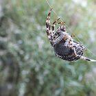 Orb Spider by BioticCrisis