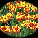 Flamboyant Two-Tone Tulips - Keukenhof Gardens by MidnightMelody