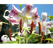 Lily Flower Closeup Floral art prints Pink Lilies Photographic Print